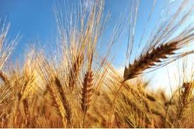 Coronavirus, prezzo del grano vola e sorpassa il petrolio